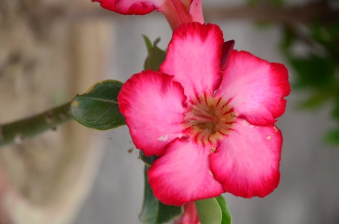 Stunning spring colors- the adenium in Meeta didi's roof garden