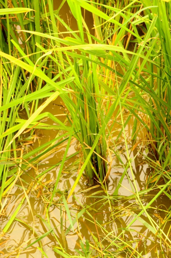 Nave, tender stalks of rice standing in the marshy fields