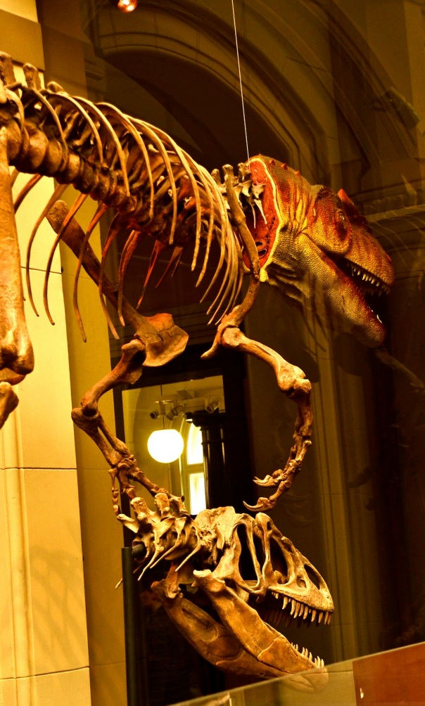 And here's the Allosaurus, a bit in dissaray but menacing even so!