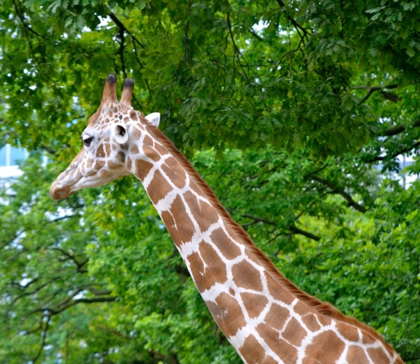 Roald Dahl set up some mean expectations about the length of a griaffe's neck when we wrote 'The Giraffe and the Pelly and Me'