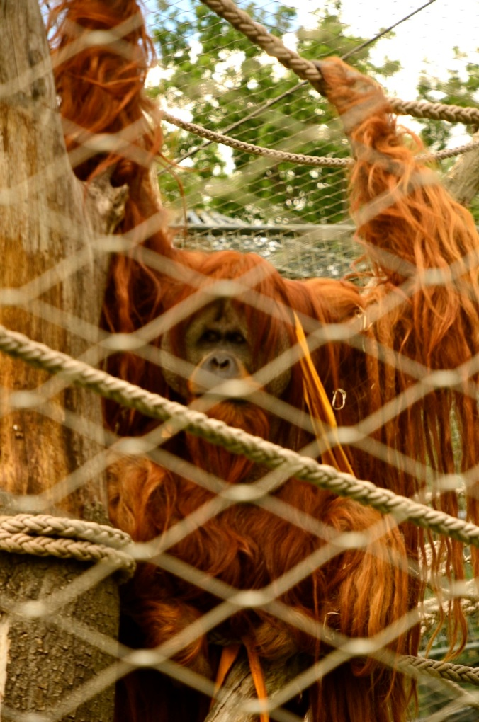 The grand old orangutan showed us a dance with a towel and generally was quite the entertainer. His movements were similar to Tai chi!
