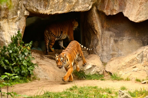 The pranced about, these Indochinese tigers. Not a patch on the Royal Bengal Tiger, if you've seen one!