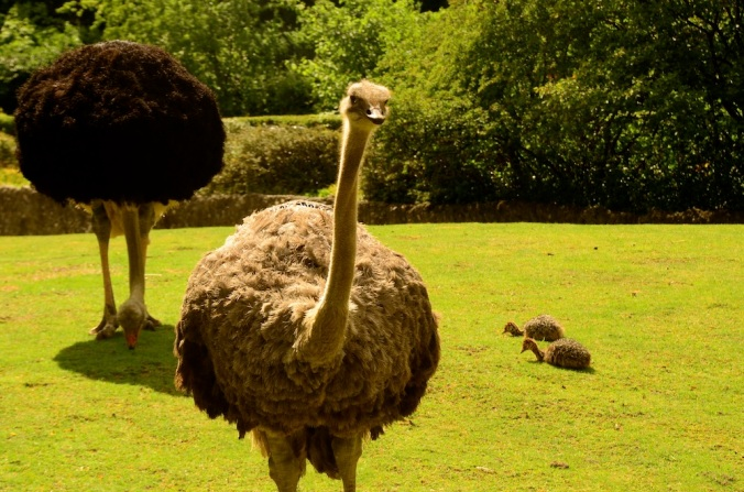 Have you seen ostrich babies?