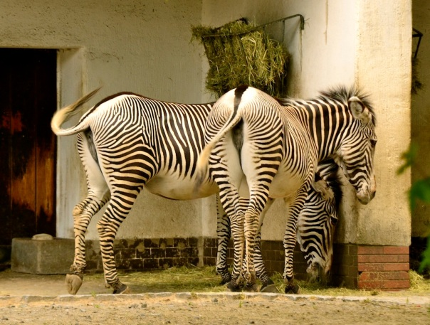 Check out my a$$, say the Zebra, ignoring us completely!