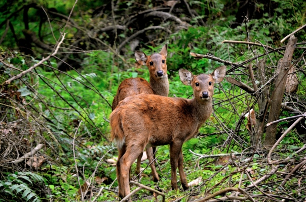 Hog deer stare out at us from the greenery that surrounds us. They aren't afraid, just curious. Just like we are...