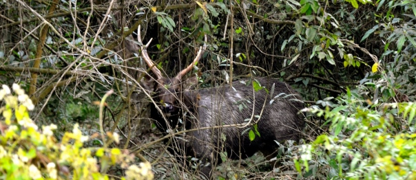 The reclusive sambar male, with his glorious antlers, doesn't show as much trust. He backs into the forest...