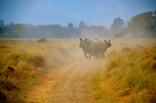 She comes in for the chase, as predicted. I can't claim this was terrifying. I was being urged to shoot and was standing upright in a moving jeep. The dust the rhino kicked up, the bulk of her as she charged, half heartedly I understand, made for an interesting picture....